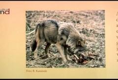 Museum für Naturkunde Magdeburg: Wölfe
